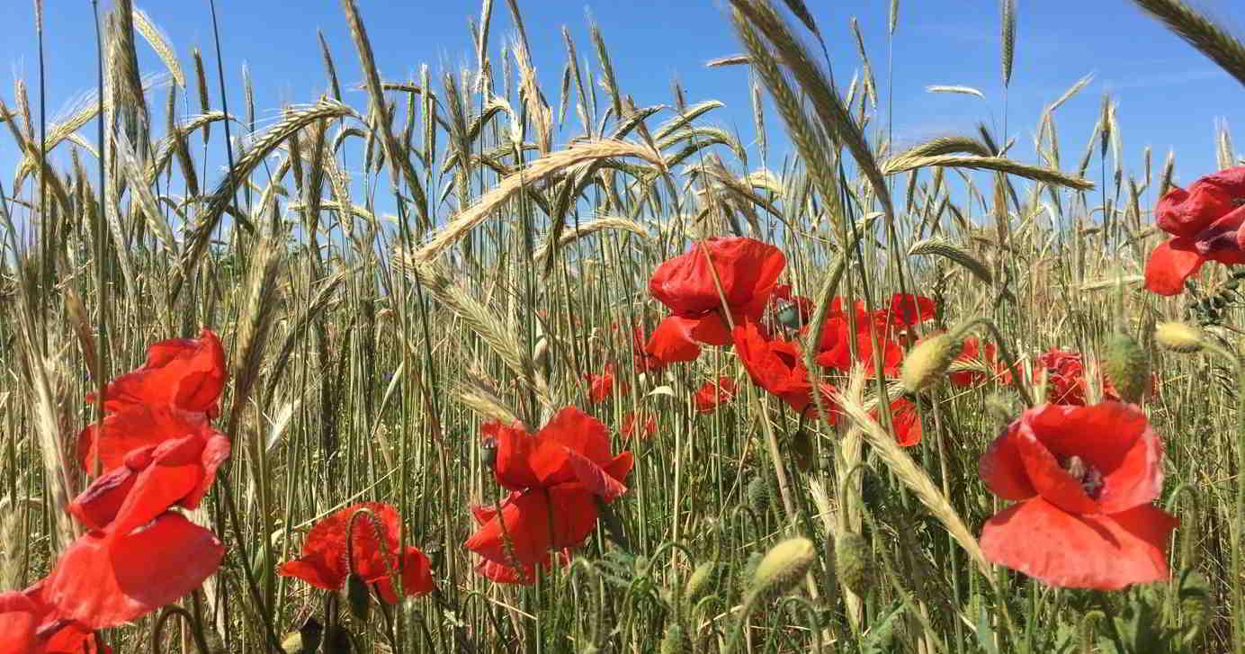 Nahaufnahme von knallroten Mohnblumen in einem Kornfeld bei blauem Himmel