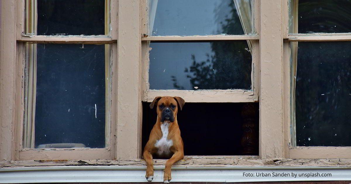 Hund (Boxer) schaut aus einem Fenster